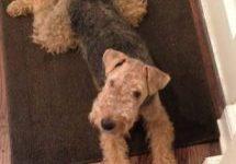 Welsh Terrier Kate