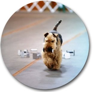Pip Welsh Terrier Round