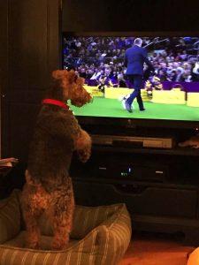 Welsh Terrier Puppy Watching Televison