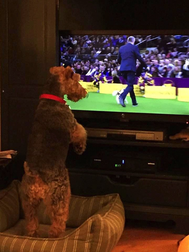 Welsh Terrier Puppy Watching Televison