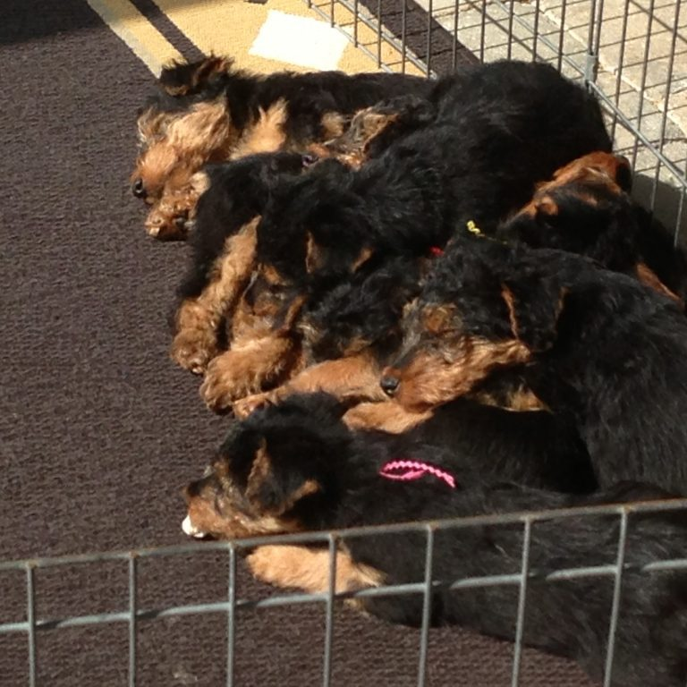 Puppy-pile-8-weeks