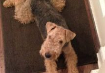Welsh Terrier Kate